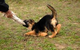 играть щенка Стоковые Фотографии RF