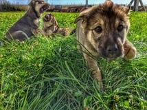 Играть щенка Стоковая Фотография