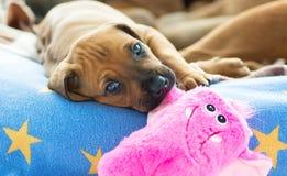 Играть щенка Rhodesian Ridgeback Стоковая Фотография RF