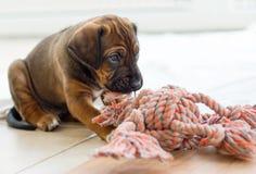 Играть щенка Rhodesian Ridgeback Стоковые Фотографии RF