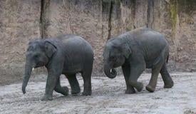 Играть calfs азиатского слона Стоковое фото RF