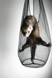 играть ferret Стоковое Изображение