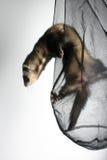 играть ferret Стоковое Фото