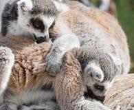 играть lemurs Стоковые Изображения RF