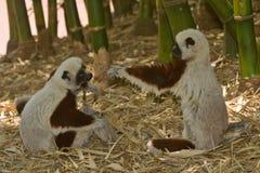 играть lemurs Стоковое Изображение