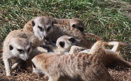 Играть Meercats Стоковая Фотография RF
