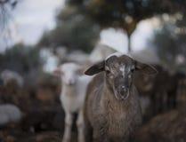 Играть Newborn овечек Принесенный в зиме Стоковое Изображение
