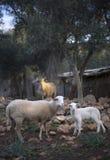 Играть Newborn овечек Принесенный в зиме Стоковое фото RF