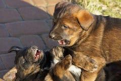 Играют 2 маленьких коричневых щенят на тротуаре снаружи стоковое фото