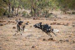 2 играя африканских дикой собаки Стоковые Фотографии RF