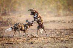 2 играя африканских дикой собаки Стоковое фото RF