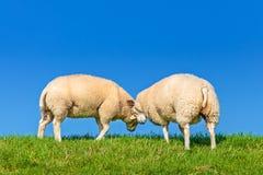 2 играя голландских овцы на дейке Стоковые Фотографии RF