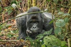 Играя главные роли горилла горы Silverback стоковые фотографии rf
