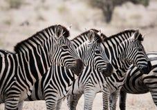 Играя главные роли зебры в национальном парке Kruger, Южной Африке Стоковое Изображение RF