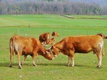 2 играя краснокоричневых коровы в Switserland Стоковая Фотография