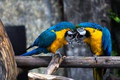 2 играя попугая в влюбленности Стоковые Фото