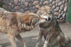 2 играя серых волка (волчанка волка) Стоковое Фото