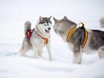 2 играя собаки сибирских лайки Стоковые Изображения