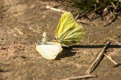 Игра бабочки и делает насекомое макроса дня влюбленности весной Стоковые Фото