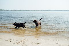 Игра 2 жизнерадостная коричневая labradors в воде Стоковые Фото