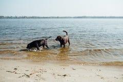 Игра 2 жизнерадостная коричневая labradors в воде Стоковая Фотография RF