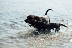 Игра 2 жизнерадостная коричневая labradors в воде Стоковое фото RF