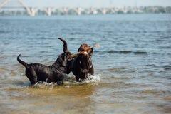 Игра 2 жизнерадостная коричневая labradors в воде Стоковые Фотографии RF
