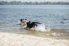 Игра 2 жизнерадостная коричневая labradors в воде Стоковая Фотография