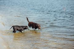 Игра 2 жизнерадостная коричневая labradors в воде Стоковое Фото
