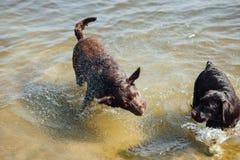 Игра 2 жизнерадостная коричневая labradors в воде Стоковые Изображения RF