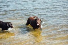 Игра 2 жизнерадостная коричневая labradors в воде Стоковые Изображения