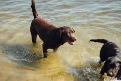 Игра 2 жизнерадостная коричневая labradors в воде Стоковое Изображение RF