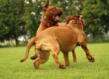 Игра игры Dogue de Бордо Стоковые Фото