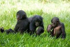 Игра 3 карликовых шимпанзе младенца друг с другом демократическая республика Конго Национальный парк КАРЛИКОВОГО ШИМПАНЗЕ Lola Ya Стоковое Изображение