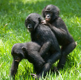 Игра 3 карликовых шимпанзе младенца друг с другом демократическая республика Конго Национальный парк КАРЛИКОВОГО ШИМПАНЗЕ Lola Ya Стоковое Изображение RF