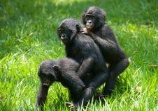 Игра 3 карликовых шимпанзе младенца друг с другом демократическая республика Конго Национальный парк КАРЛИКОВОГО ШИМПАНЗЕ Lola Ya Стоковое фото RF