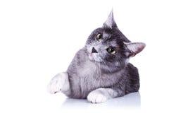 игра кота милая готовая к Стоковое Изображение