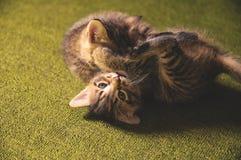 Игра котят Стоковые Изображения RF