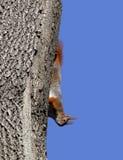 Игра красной белки на дереве Стоковые Фотографии RF