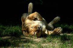 игра львицы Стоковое Фото