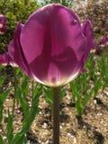 Игра марионетки тени с пурпурным тюльпаном стоковое изображение rf