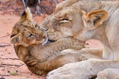 Игра новичка льва с матерью на песке стоковая фотография rf