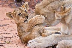 Игра новичка льва с матерью на песке Стоковое фото RF