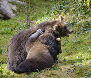 Игра 2 новичков бурого медведя воюя в природе Стоковое фото RF