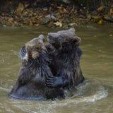 Игра 2 новичков бурого медведя воюя в природе Стоковое Фото