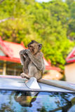 Игра обезьян и смотреть вокруг Стоковое Изображение