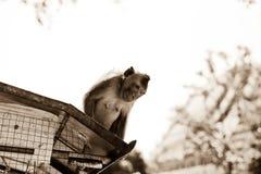Игра обезьян и смотреть вокруг Стоковые Фото