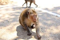 Игра обезьян и смотреть вокруг Стоковые Изображения