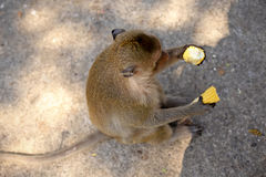 Игра обезьян и смотреть вокруг Стоковая Фотография