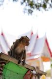 Игра обезьян и смотреть вокруг Стоковое фото RF